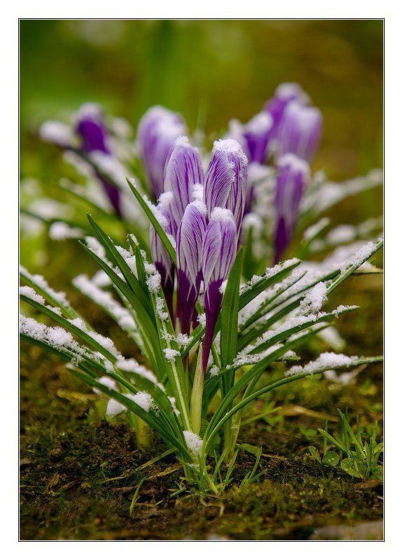 крокусы танец ручеек весна Весенний танец Ручеекphoto preview