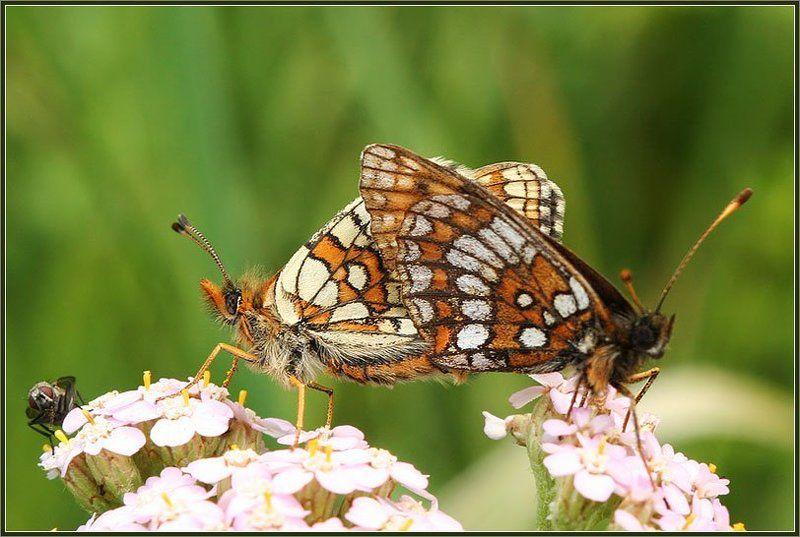 муха, бабочки подглядывающаяphoto preview