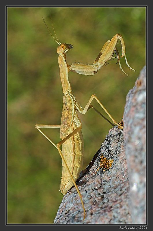 макро, насекомые, скалолаз, пианист, богомол, обыкновенный, mantis, religiosa, богомолы, manteidae, богомоловые, mantoptera Богомол-пианистphoto preview