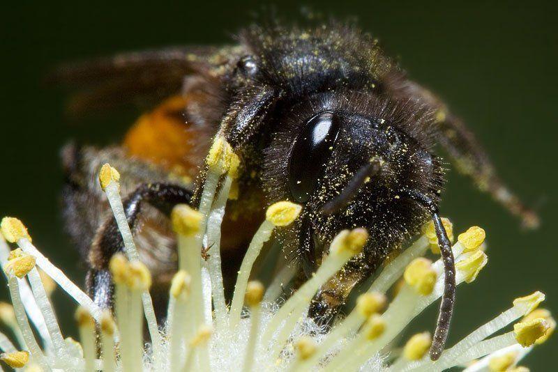 верба, весна, пчела у кого рыльце в пушку...photo preview