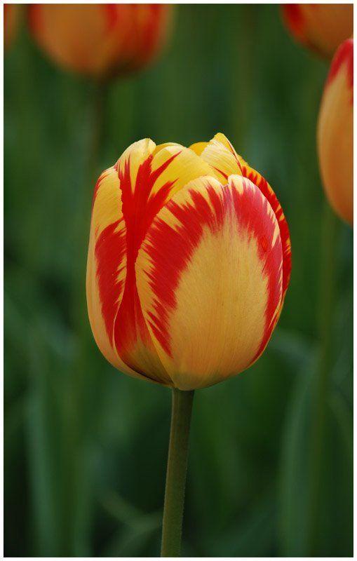 Фан-фан-тюльпан!photo preview