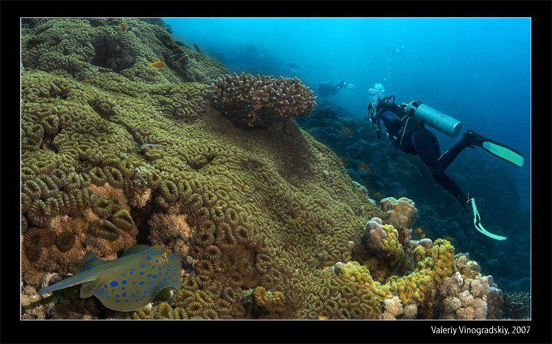 подводный мир скат риф дайверы красное море виноградский валерий Underwater lifephoto preview