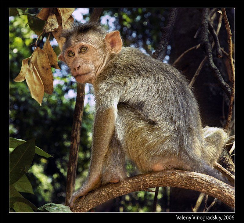 индия гоа обезьяна бандерлог джунгли валерий виноградский Бандерлогphoto preview