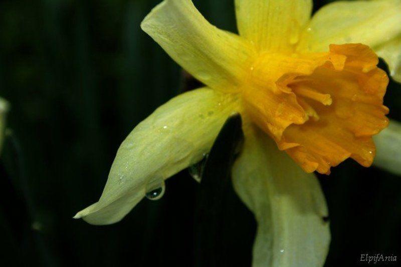 нарцисс, цветы, макро Нарциссphoto preview