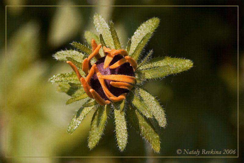 макро,цветок,рутбекия Цвету как могу!...photo preview
