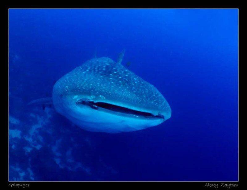 зайцев, китовая акула, галапагосы Китовая акулаphoto preview