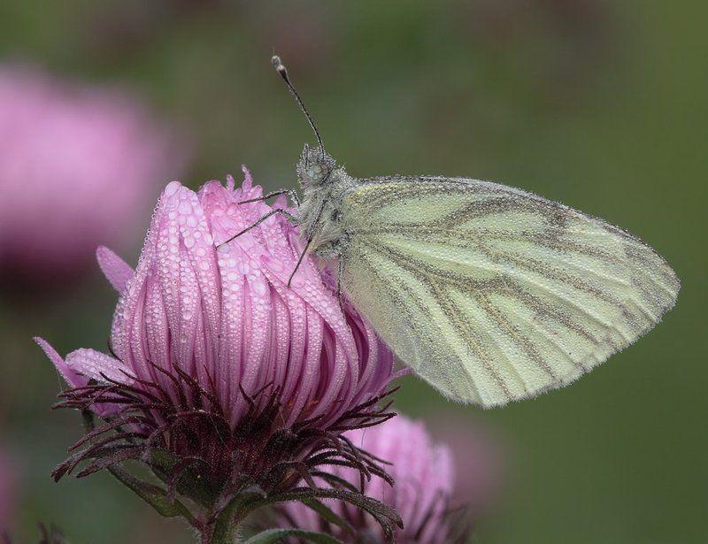 бабочка, брюквенница, pieris, napi, l. Утренние ванныphoto preview