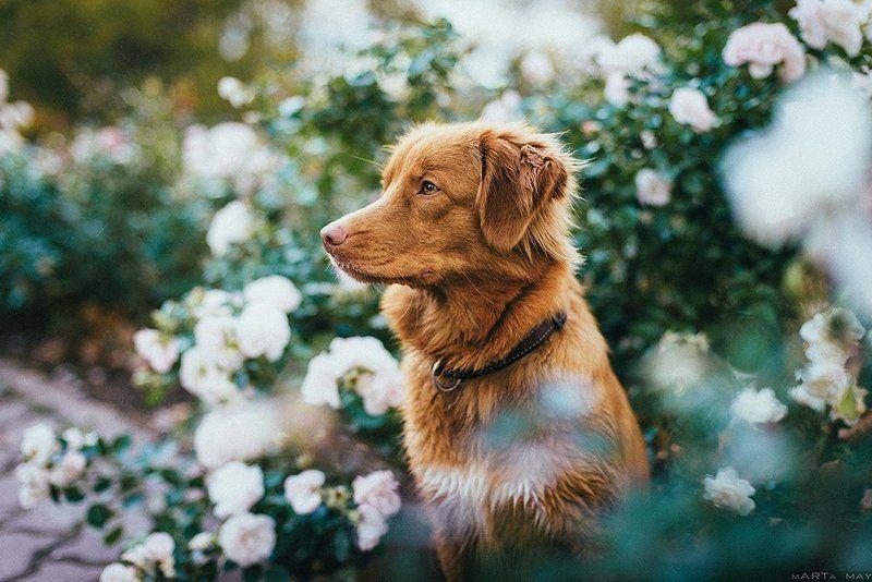 Animals, Dog, Nikon, Собака, Толлер Толлерphoto preview