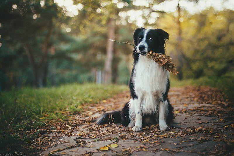 бордер-колли, собака, осень, animal, pet, autumn *******photo preview