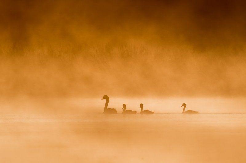 Про лебедей в тумане...photo preview