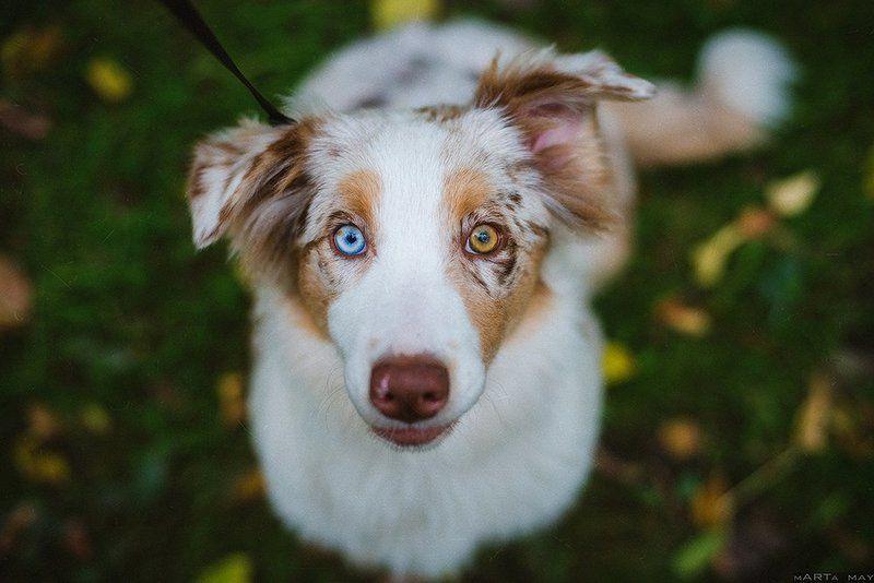 Dog, Австралийская овчарка, Аусси, Глаза, Собака Моллиphoto preview