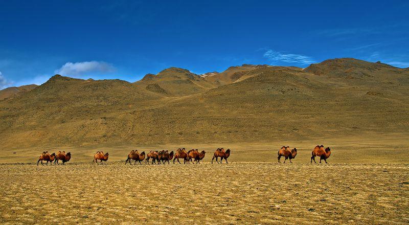 Camel, Азия, Верблюды, Горы Небо, Караван, Чуйская степь ***photo preview
