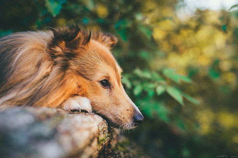 sheltie, dog, pet, autumn Sheltiephoto preview