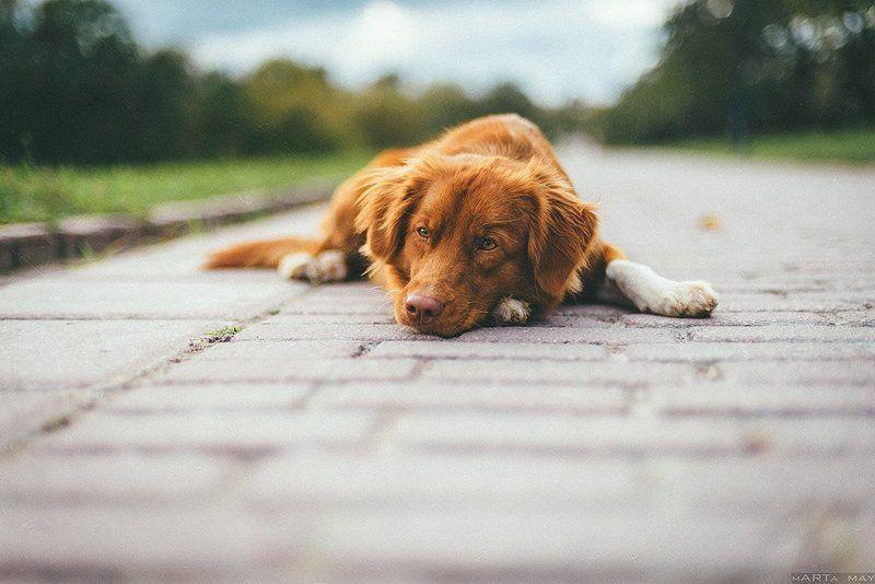 собака, осень, Толлерphoto preview