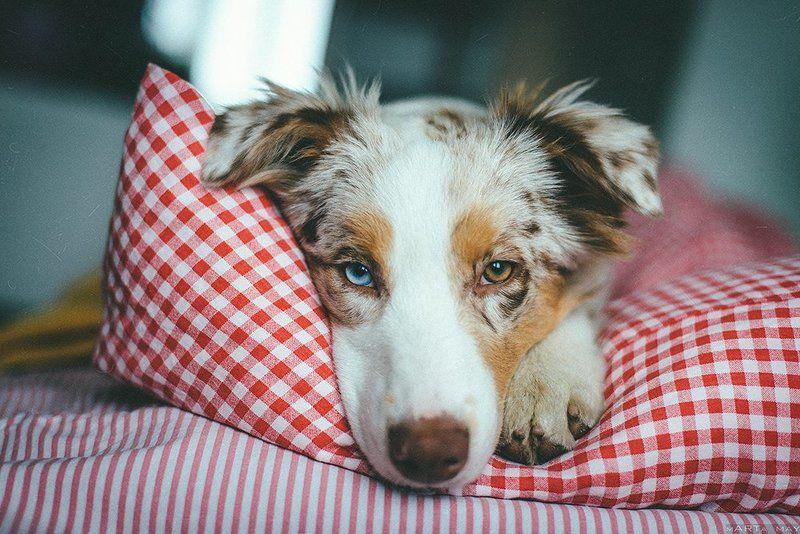 аусси, собака, dog, австралийская овчарка, глаза Утро...photo preview