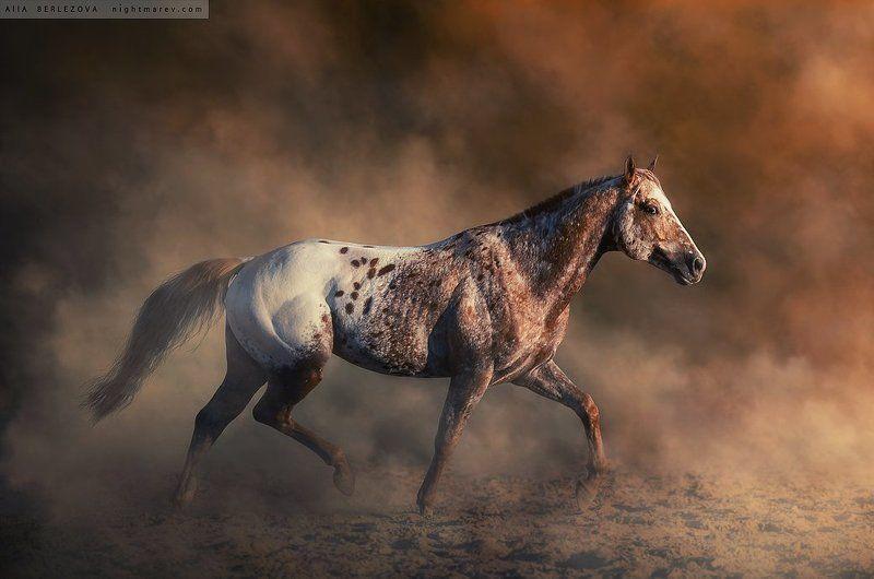 appaloosa, dust, fog, horse, mist, аппалуза, дым, лошадь, туман UT Spurs For Olenaphoto preview
