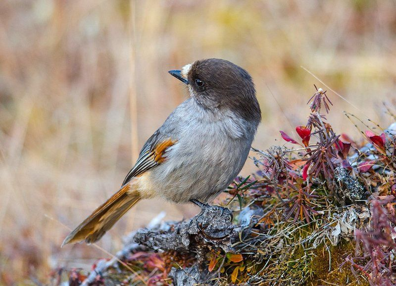 Кукша птицы Кукшаphoto preview