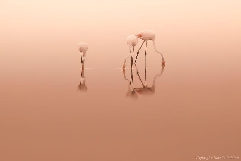 безмятежность, дитя заката, дитя рассвета, заповедник, настроение, озеро, отражения, природа, птицы, рассвет, розовый, спокойствие, тишина, трио, утро, фламинго Трио...photo preview