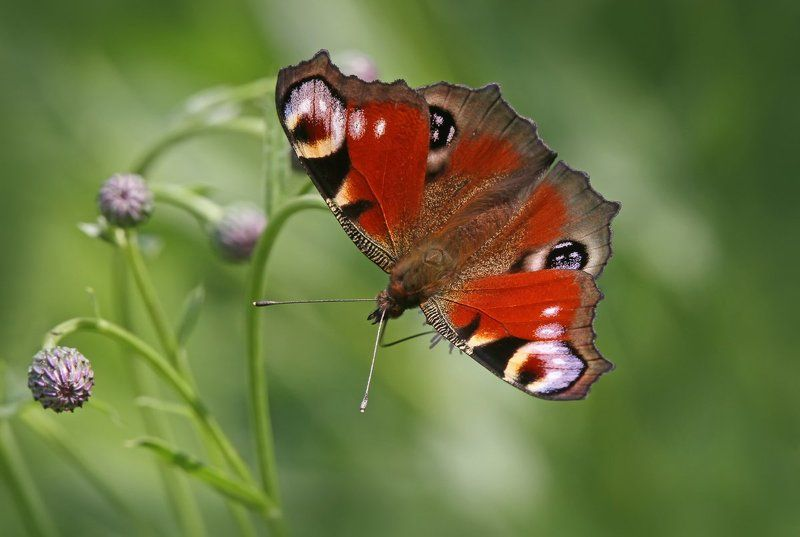 бабочка, павлиний глаз Inachis io.photo preview