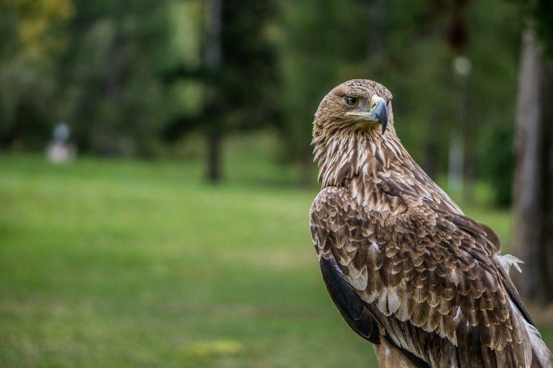 #алтай, #орел Взгляд хищникаphoto preview