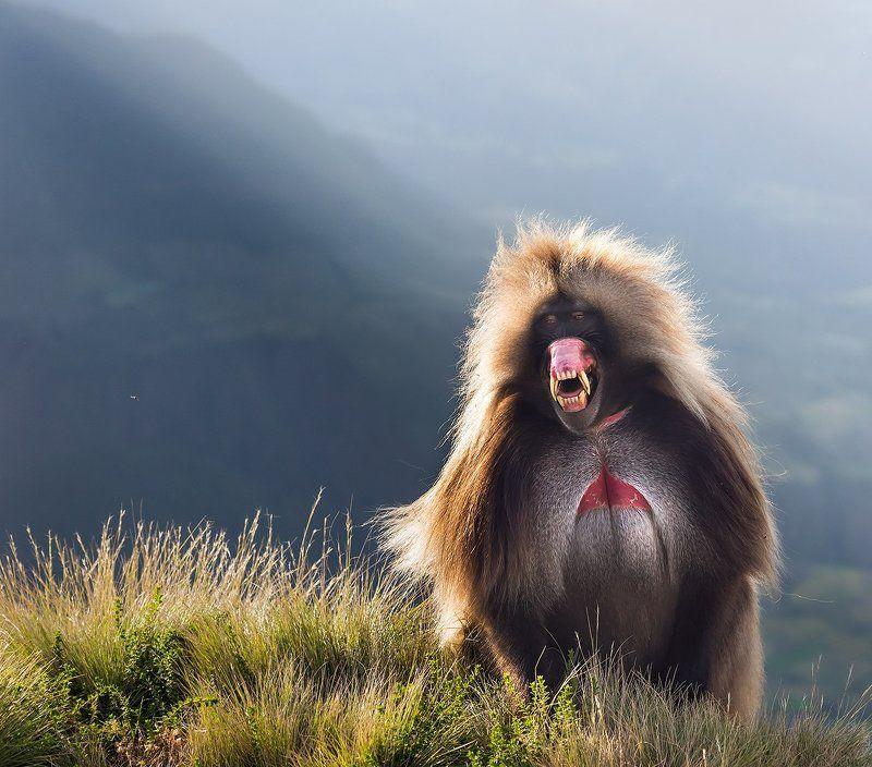 эфиопия, обезьяны, гелада, бабуин, африка Гелада Бабунphoto preview