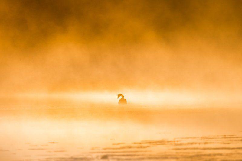 Солнечный лебедьphoto preview