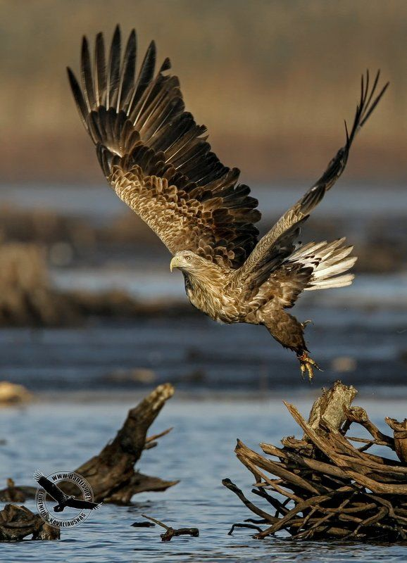 орлан белохвост, haliaeetus albicilla, white-tailed eagle Земля прощай в добрый путь...photo preview
