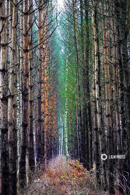 береза, лес, хвоя Чужаяphoto preview