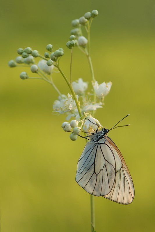 природа, лето, утро, рассвет, бабочка, боярышница Боярышницаphoto preview