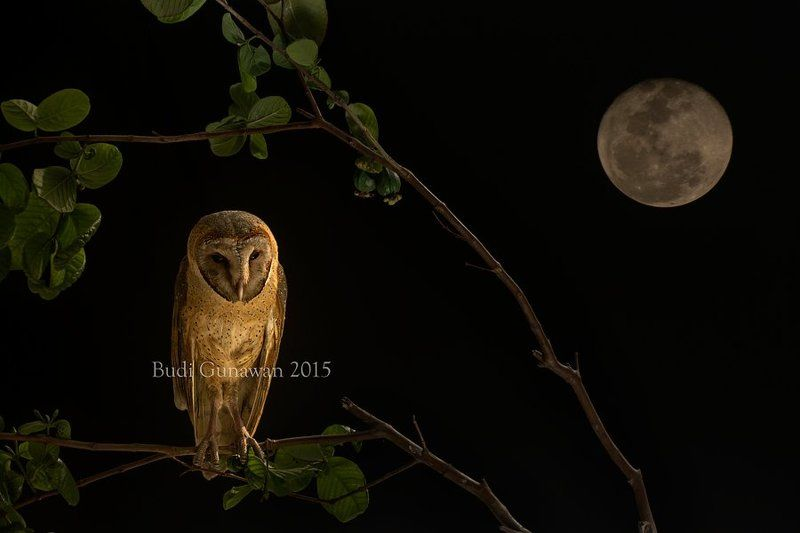 Animal, Barn Owl Night Hunterphoto preview