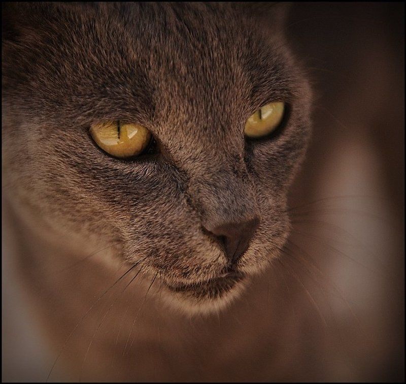 Animal, Animals, Cat, Cats, Nature, Portrait Domestic Pumaphoto preview