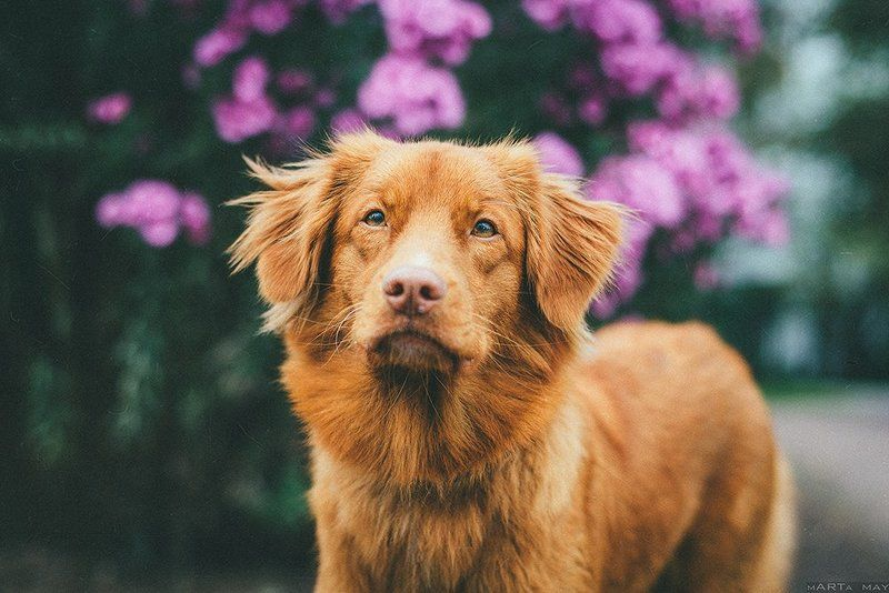 толлер, dog, red, рыжий, собака Толлерphoto preview