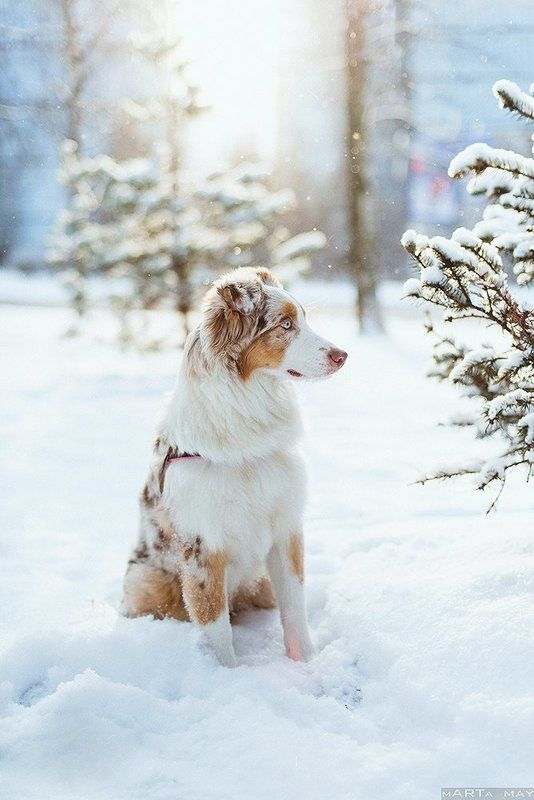aussie, dog, winter, snow, cute, red merle Mollyphoto preview