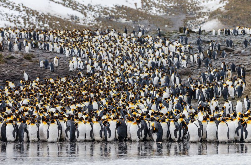 Антарктика, Королевский пингвин, Южная Георгия Живая река.photo preview