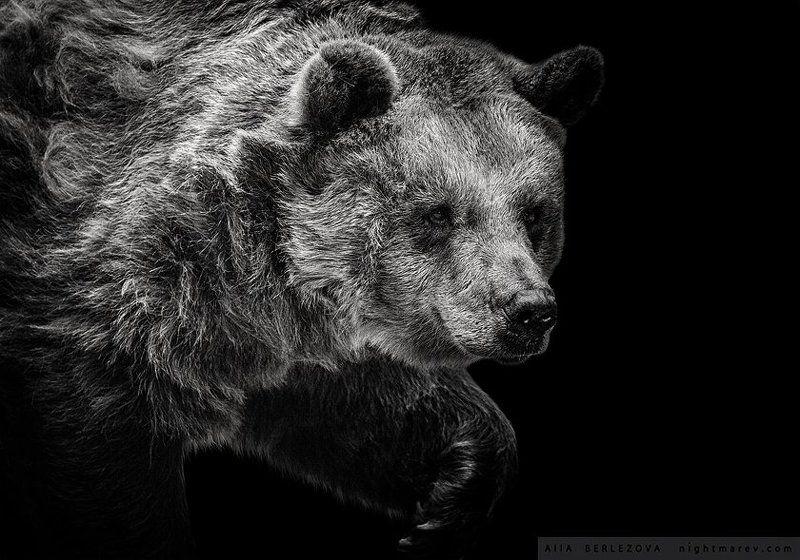 bear, black and white, медведь, черно-белое .photo preview