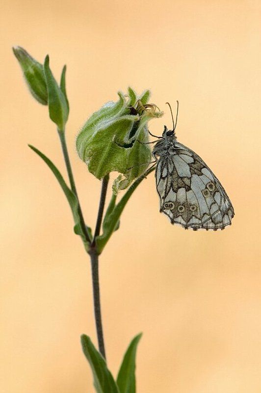 природа, лето, бабочка, галатея Галатеяphoto preview