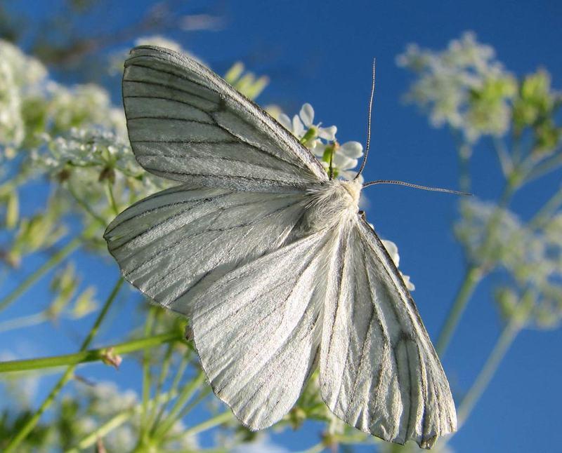 бабочка, лето, небо, пяденица линейчатая Белый ангелphoto preview