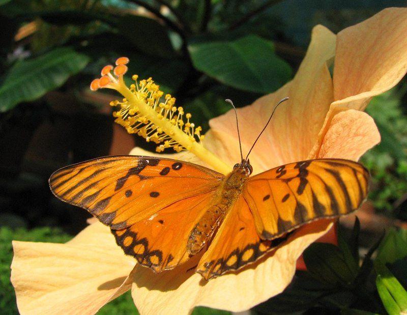 бабочка, гибискус Экзотикаphoto preview
