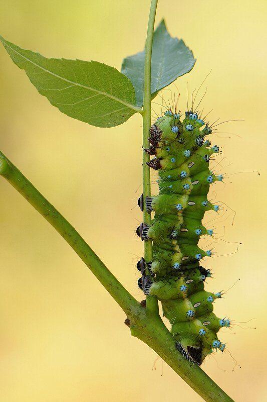 природа, макро, гусеница Буду красавицей....photo preview