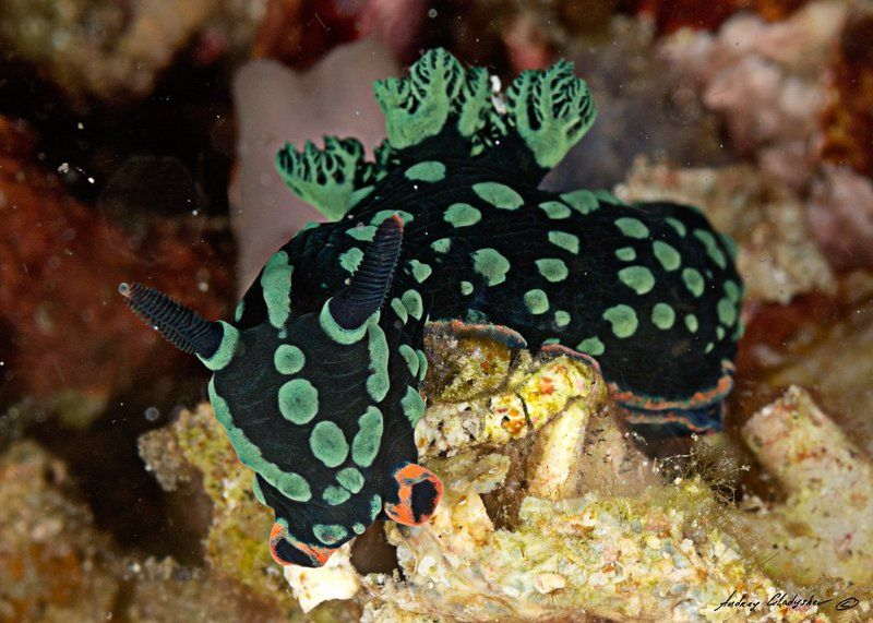 Голожаберный моллюск Комодо Нудики Комодоphoto preview