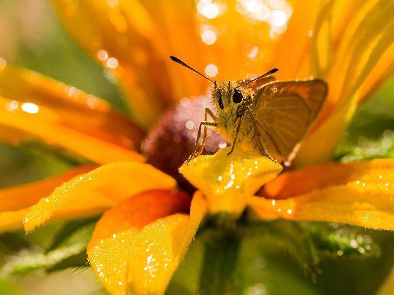 толстоголовка, бабочка Рыжаяphoto preview