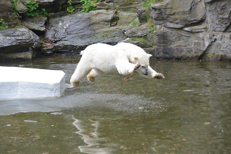 животные прыжок медиедь Прыжокphoto preview