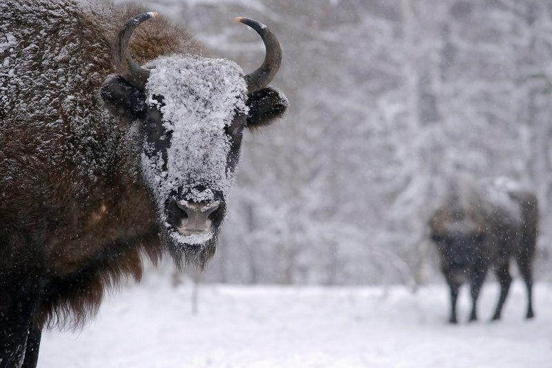 Животные, Заповедник, Зима, Зубр Снеговикphoto preview