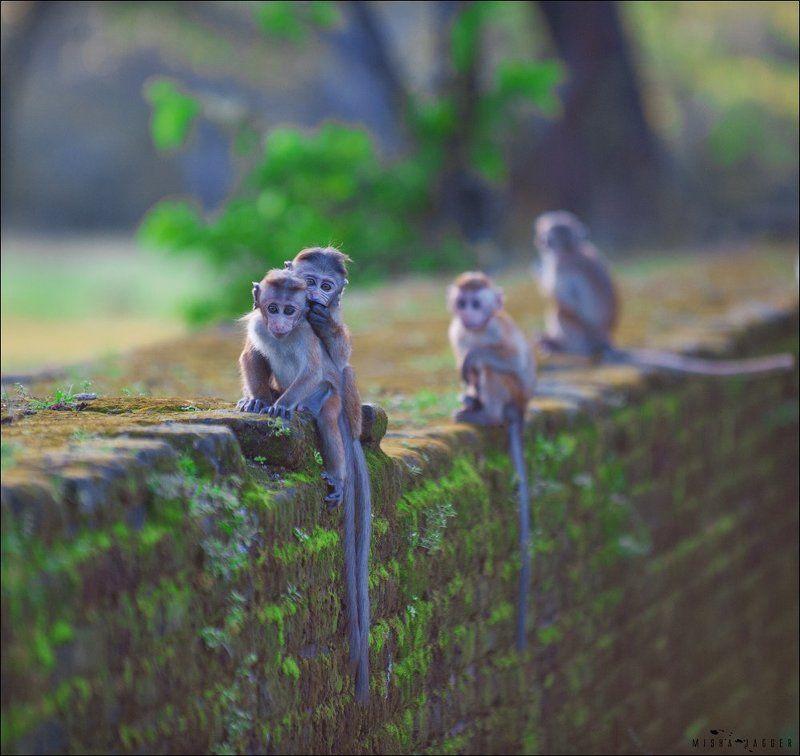 Мартышки, Обезьяны, Шри ланка Где-то на Шри Ланкеphoto preview