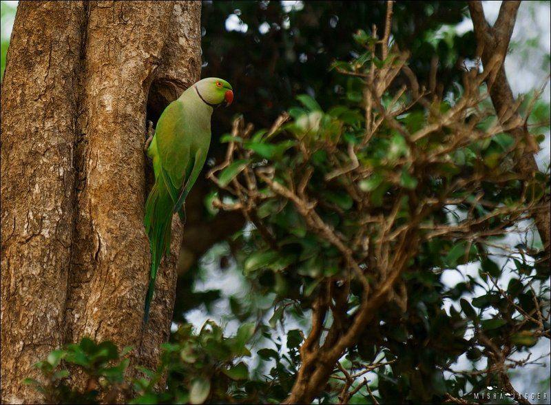 Попугай, Шри ланка Почти орел, только зеленыйphoto preview