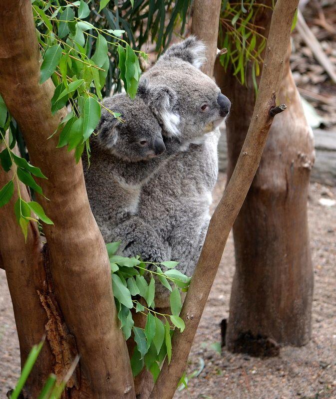 Alfred A Arnold, Australia