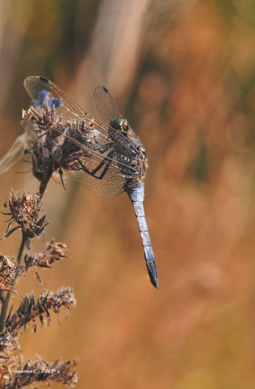 Dragonflyphoto preview