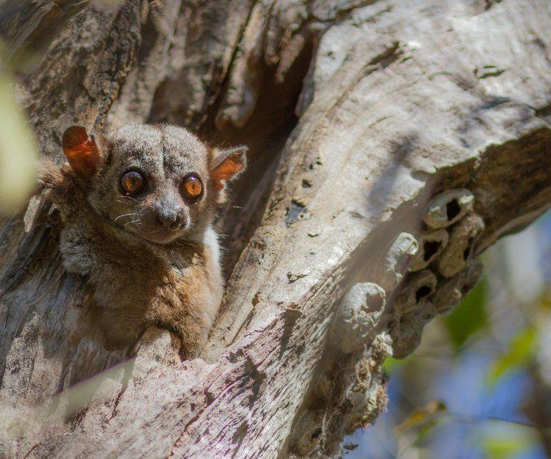 Дикая природа, Лемур, Мадагаскар Ну кто там шатается по лесу среди бела дня?photo preview