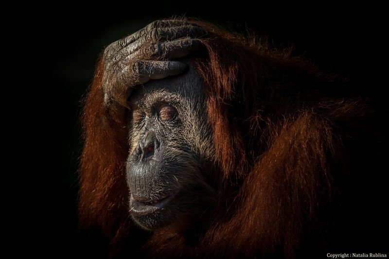 Животные, Зоопарк, Настроение, Орангутан, Портрейт, Приматы, Сафари В глубине Души я знала...photo preview