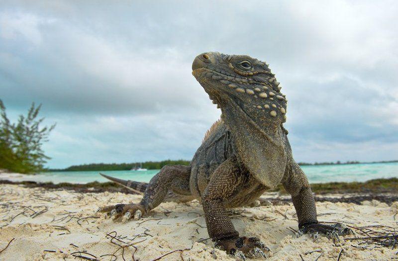 игуана, ящерица, дракон, куба, природа, дикая природа, остров, рептилии, nature, reptile, lizard, nature, wildlife, cuba, cyclura, cyclura nubila  Драконы photo preview